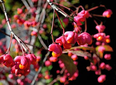 Ion vincent DAnu - Pink and Orange October Fruits