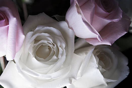 Pink and white roses by Jennifer Ancker