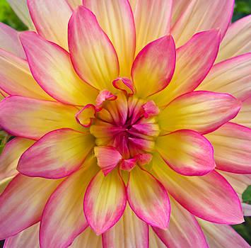 Pink And Yellow Dahlia by Eva Kondzialkiewicz