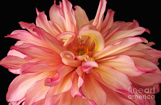 Pink And Yellow Dahlia by Olivia Hardwicke
