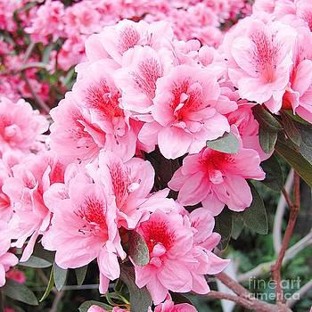Pink Azalea In Bloom by Halyna  Yarova