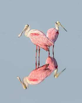 Pink Bird Photograph - Roseate Spoonbills with Reflection by Bill Swindaman