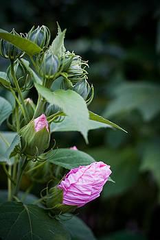 Pink Bud by Jesska Hoff