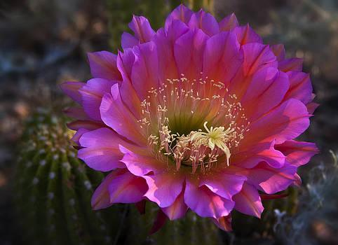 Saija  Lehtonen - Pink Cactus Flower