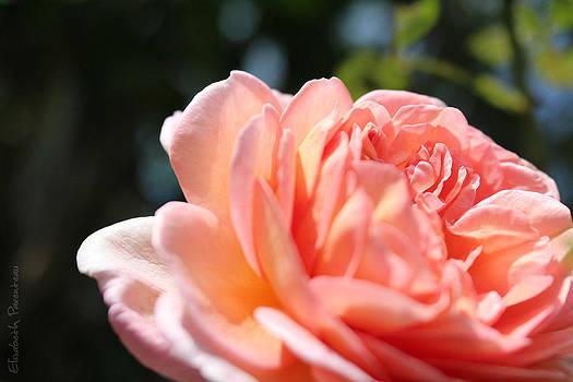 Pink Chiffon by Elizabeth Parenteau