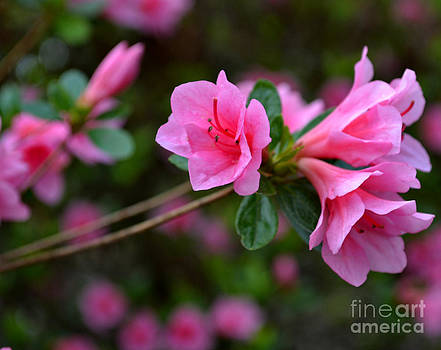 Pink Cluster of Azaleas by Eva Thomas