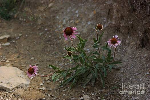Pink Cone Flower's close up in a Road by Robert D  Brozek