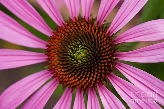 Joann Copeland-Paul - Pink Cornflower