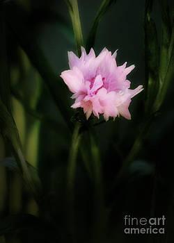 Pink Cornflower by Marjorie Imbeau