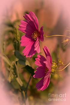 Pink Cosmos  by Marjorie Imbeau