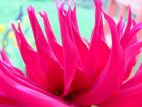 Pink Dahlia Delight by Sandra Martin