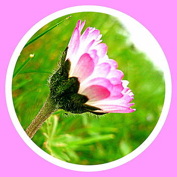 Pink Daisy  by The Creative Minds Art and Photography