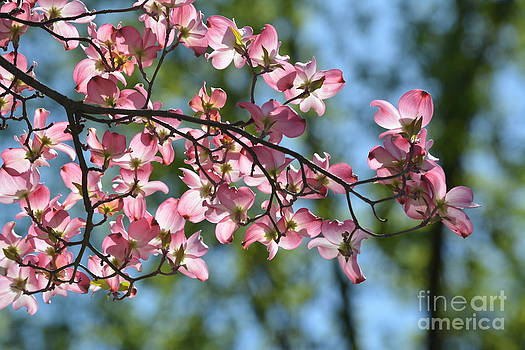 Pink Dogwood Flowers by P S