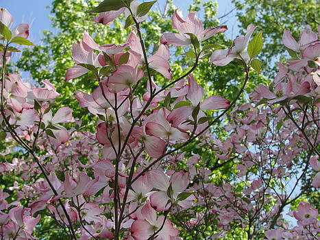 Pink Dogwood by Jean Sproul