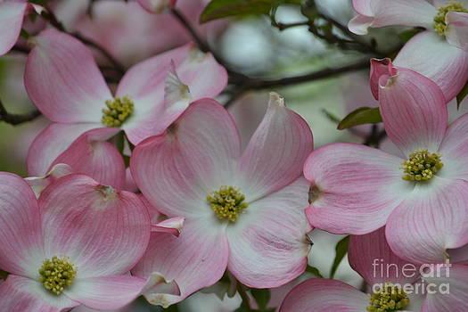 Pink Dogwood Tree by P S