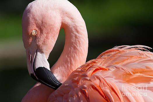 Wingsdomain Art and Photography - Pink Flamingo 7D9010