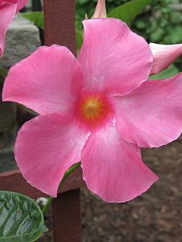 Pink Flower by Paul Schoenig
