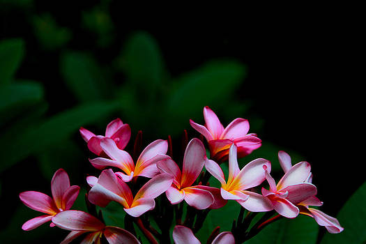 Pink Frangipani by Donald Chen