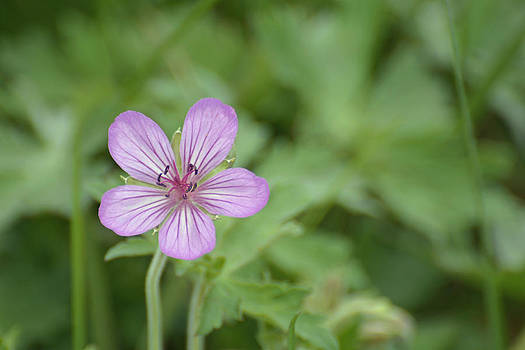 Pink Geranium in Bloom in Yellowstone by Bruce Gourley