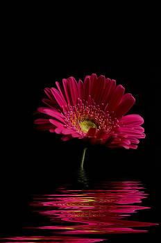 Steve Purnell - Pink Gerbera Flood 1