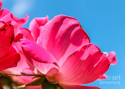 Pink Glory by Brandon Hussey