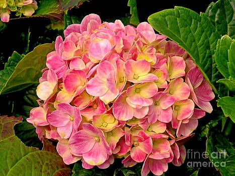 Pink Hydrangea Flowers by Margaret Newcomb