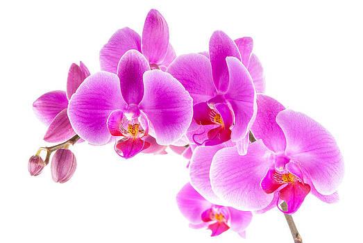 onyonet  photo studios - Pink Ice Orchid Trio