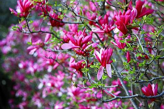 Pink in spring by M Gabo