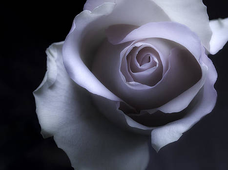 Black And White Rose Flower Macro Photography by Artecco Fine Art Photography