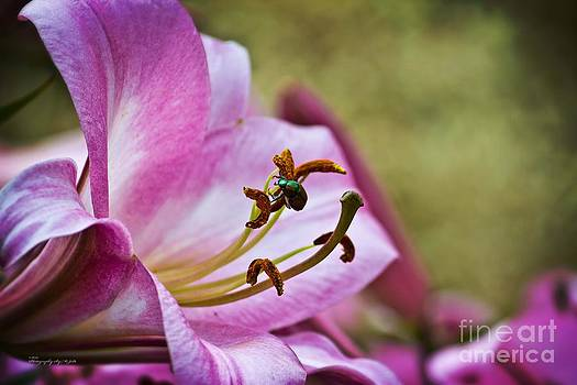 Pink Lily and Dogbane Beetle by Ms Judi