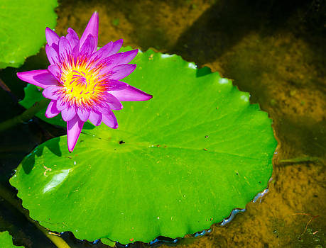 Pink Lotus With Round Green Leaf by Jirawat Cheepsumol