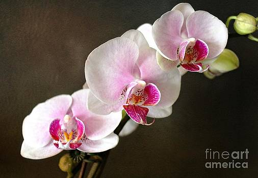 Pink Orchid by Judy Palkimas