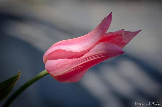 Pink Pastel Tulip by Laurel Butkins