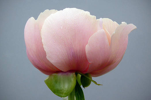 Pink Peony by Cindy McDaniel