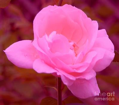 Pink Pink Rose by Kathleen Struckle