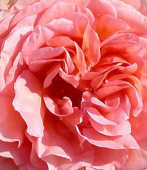Anne Cameron Cutri - Pink Rose Closeup