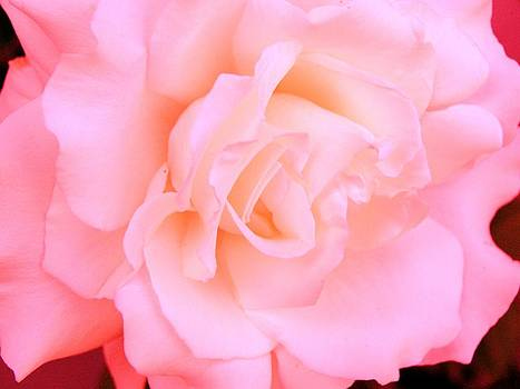 Anne-Elizabeth Whiteway - Pink Rose to Show You