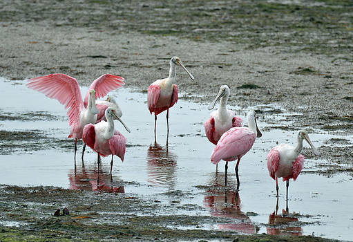 Pink Spoonbills at Darling National Wildlife Refuge by Bruce Gourley