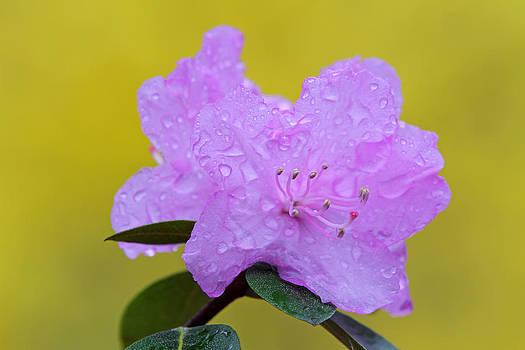 Juergen Roth - Pink Spring Blossom