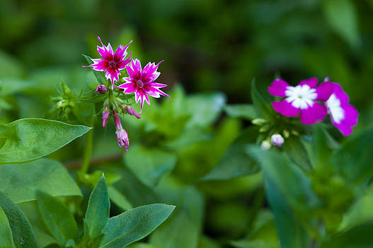 pink star-liked Dianthus flower on green leafs background by Jirawat Cheepsumol
