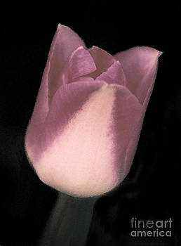 Pink Tulip Bloom Closeup Opening by ImagesAsArt Photos And Graphics