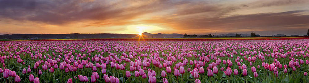 Pink Tulip Harmony by David  Forster