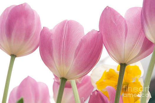 Pink Tulips 2 by Amy Bynum