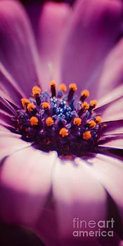 Pink Velvet by Hannes Cmarits