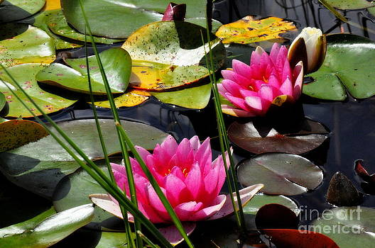 Pink Water Lilies by Tanya  Searcy