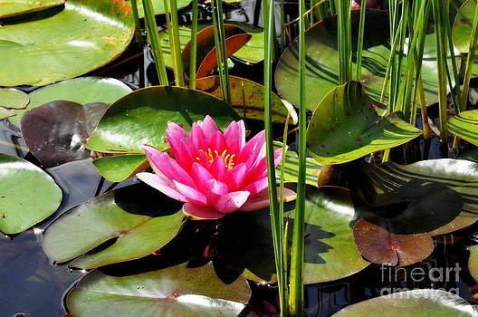 Pink Waterlily by Tanya  Searcy