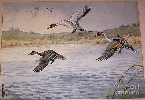 Pintail Ducks In Flight by Boris Riab