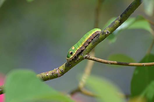 Pipevine Swallowtail Caterpillar by Jodi Terracina