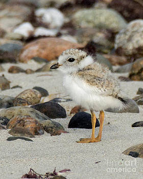 Piping Plover Chick by Deborah  Smith