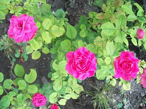 Purple roses by Galina Todorova